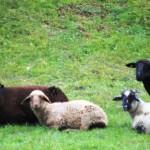 Schafe auf der Weise